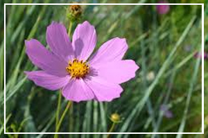 October Flowers Cosmos